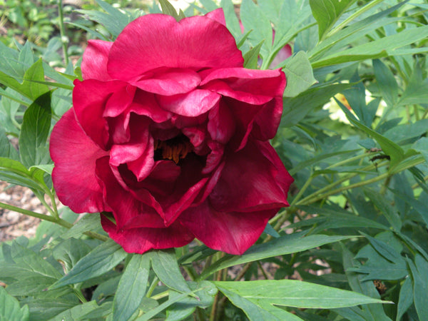 Banquet, hybrid tree peony WILL BE AVAILABLE FOR FALL 2021
