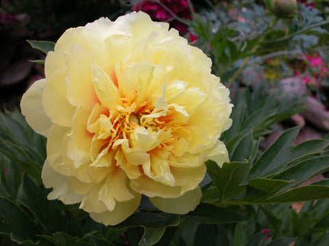 COOLER SALE Bartzella, intersectional 'Itoh' peony