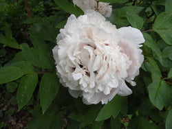 Boundless Bright Sky, Chinese rockii tree peony WILL BE AVAILABLE FOR FALL 2021