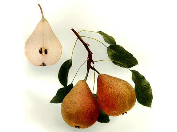 Pear, 'Beurre Giffard' French heirloom