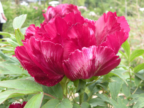 Black Dragon Brocade, Japanese tree peony