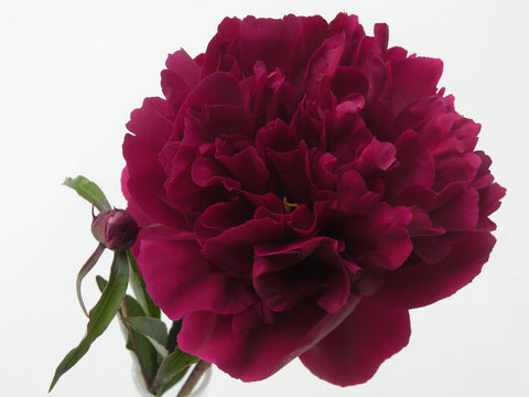 Black Dragon, Chinese herbaceous peony