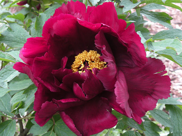 Black Purple and Gold Velvet, Chinese tree peony WILL BE AVAILABLE FOR FALL 2021