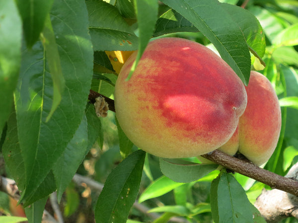 Peach, 'Blushingstar'