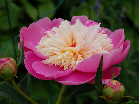 Bowl of Beauty, herbaceous peony