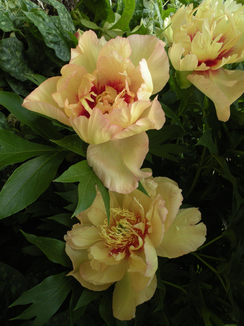 Callie's Memory, intersectional 'Itoh' peony