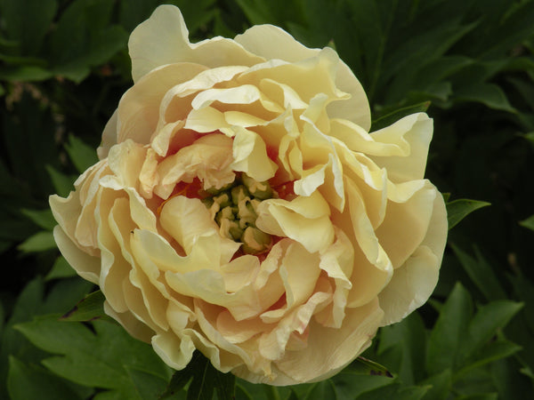 Canary Brilliants , intersectional 'Itoh' peony