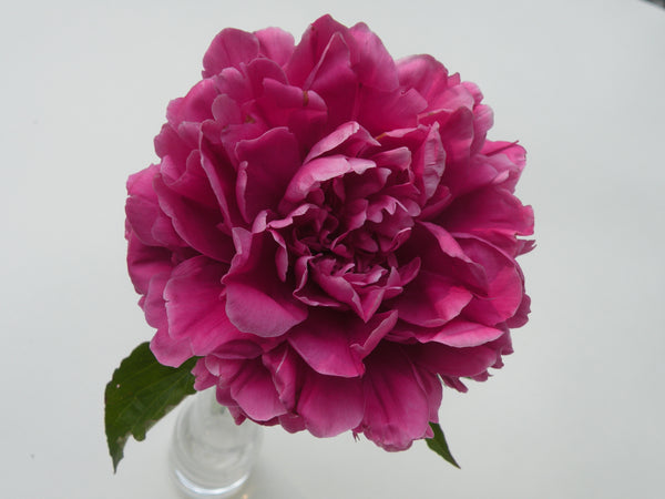 Cao Zhou Red, Chinese herbaceous peony