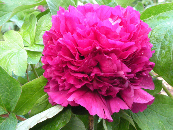 Capital Red, Chinese tree peony