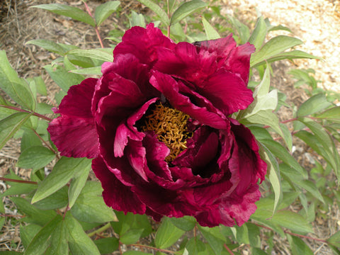 Champion Fragrance, Chinese tree peony
