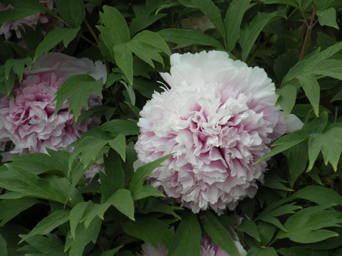 Color of Eternity, Chinese tree peony