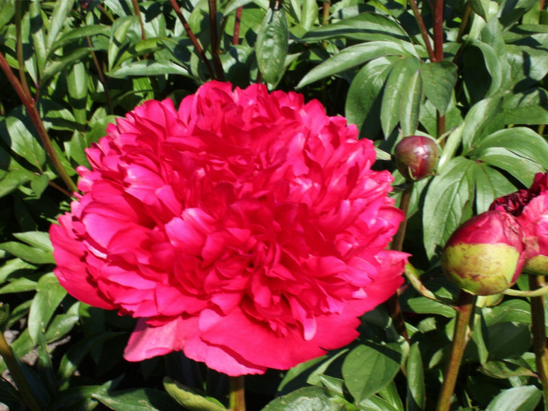 Command Performance, hybrid herbaceous peony