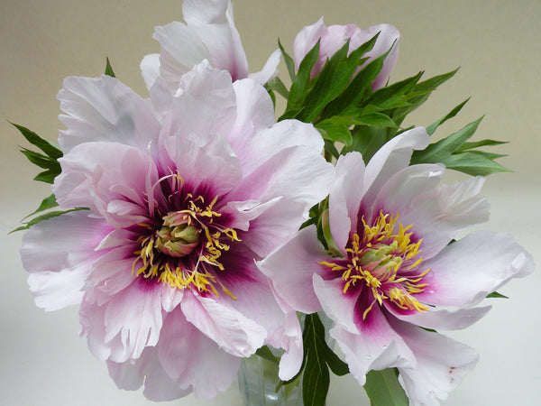 Cora Louise, intersectional 'Itoh' peony