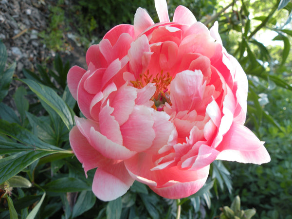 Coral Charm, hybrid herbaceous peony