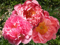 Coral Hybrid Herbaceous Peony Collection