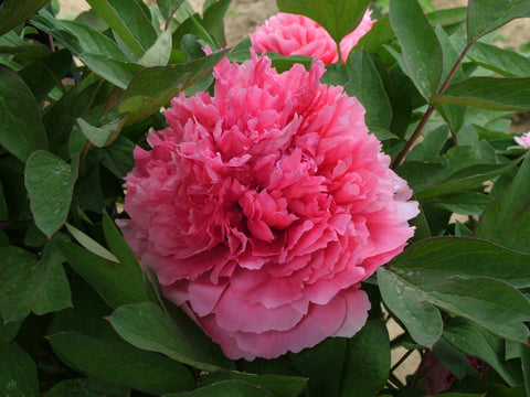 Coral Terrace, Chinese tree peony