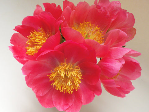 Coral 'n Gold, hybrid herbaceous peony
