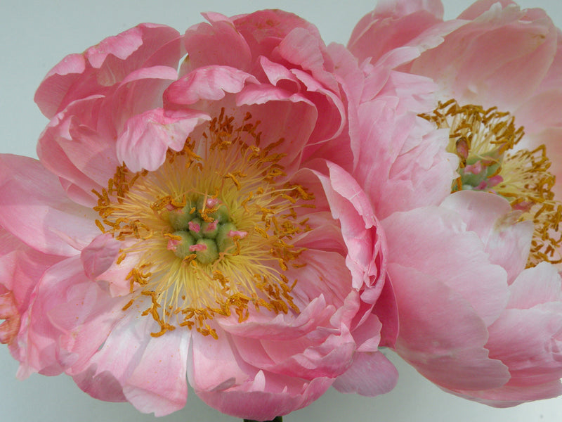 Coral Supreme, hybrid herbaceous peony