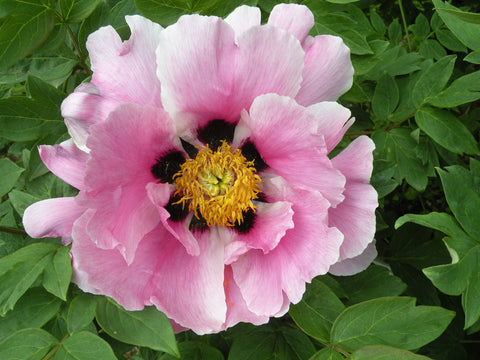 The Crane, Chinese rockii tree peony