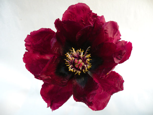 Cup of Shining Night, Chinese rockii tree peony