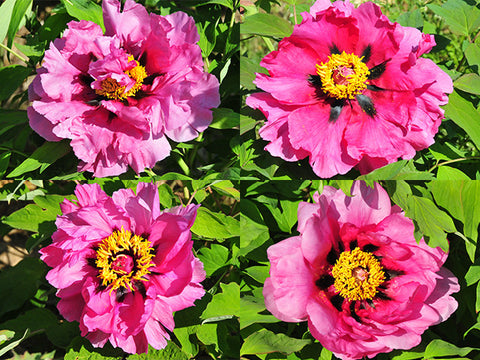 Dark Pink Lotus, Seed grown tree peony