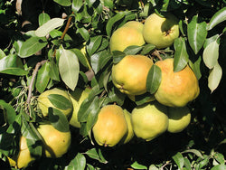 Pear, 'Deveci'