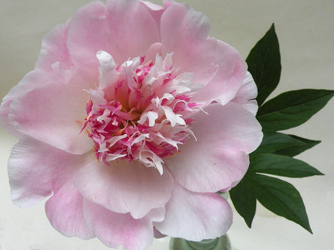 Do Tell, herbaceous peony