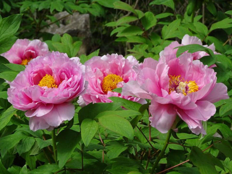 Surprise Pinks, Japanese tree peony, 1-2 yr. size