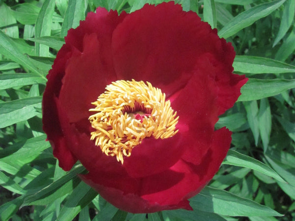 Early Scout, hybrid herbaceous peony