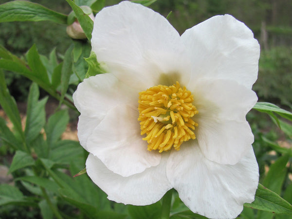 Early Windflower, hybrid herbaceous peony