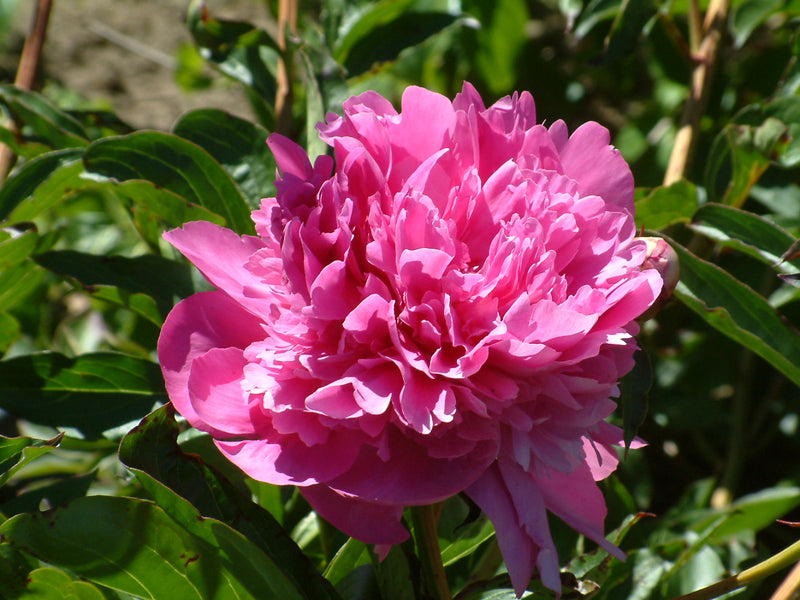 Edulis Superba, heirloom herbaceous peony