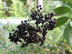 Elderberry - Native type
