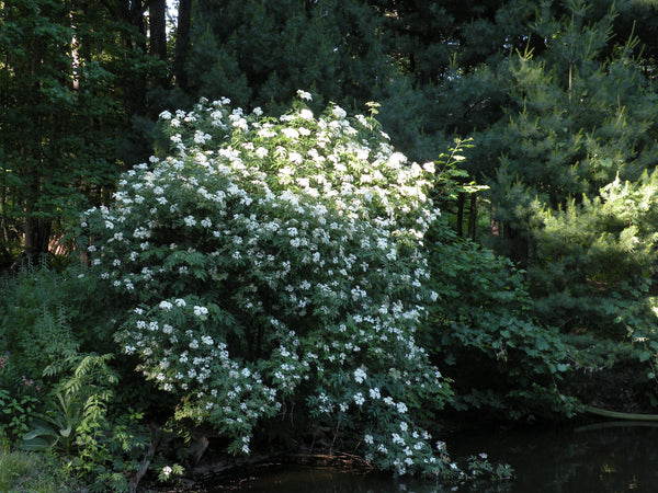 Elderberry, American native