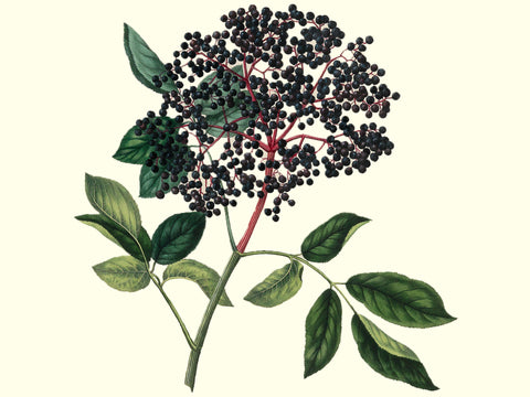 Elderberry, 'Nova' cutting