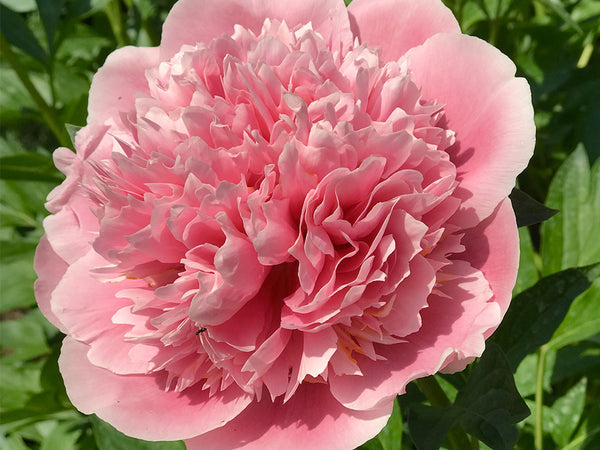 Etched Salmon, hybrid herbaceous peony