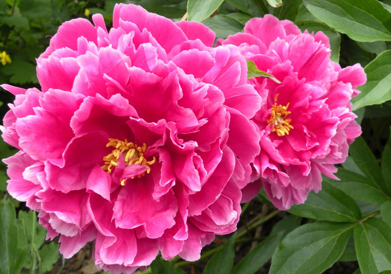 Eternal Red, Chinese herbaceous peony