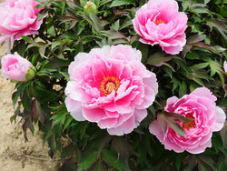 Eternal Camellias, Japanese tree peony WILL BE AVAILABLE FOR FALL 2021