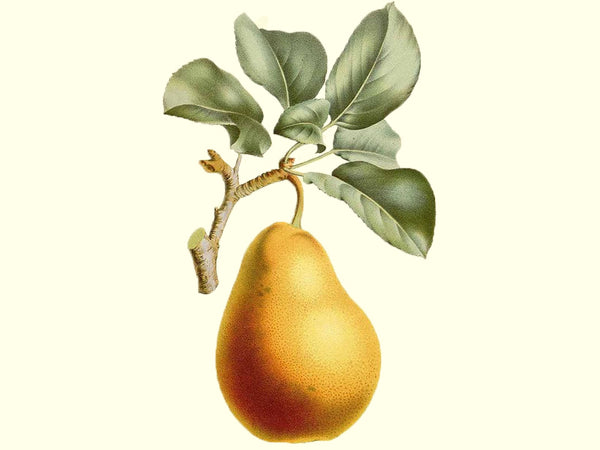 European pear, 'White Doyenne' scion