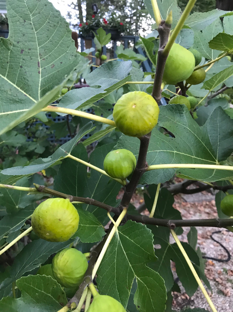 Fig, 'DiNunzio's White'
