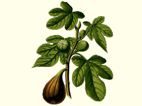 'Marseilles Black' Fig