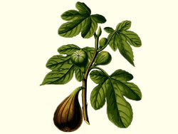 Fig, 'Miller's Brown Turkish'