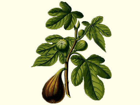 'Miller's Brown Turkish' Fig