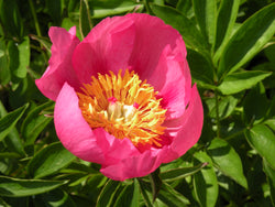 Firelight, hybrid herbaceous peony