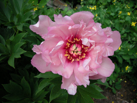First Arrival, intersectional 'Itoh' peony