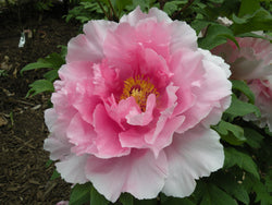 Floral Rivalry, Japanese tree peony