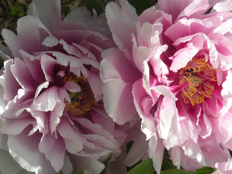 No Regrets, Japanese tree peony WILL BE AVAILABLE FOR FALL 2021