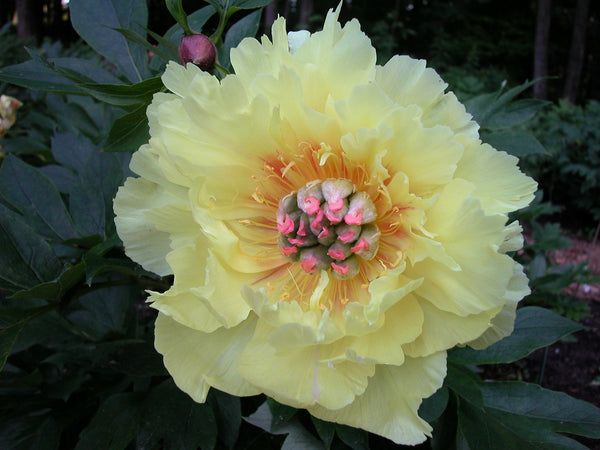 Garden Treasure, intersectional 'Itoh' peony