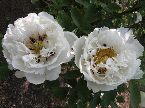 Gathering of Living Buddhas, Chinese rockii tree peony
