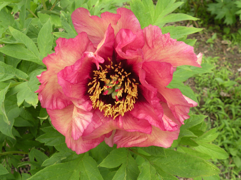 Gauguin, hybrid tree peony WILL BE AVAILABLE FOR FALL 2021