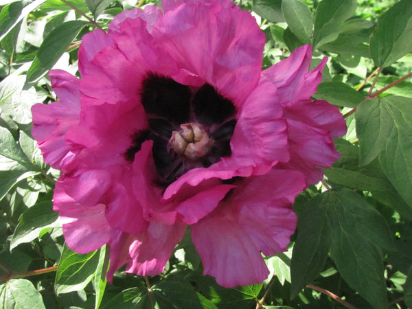 Glorious Journey, Chinese rockii tree peony AVAILABLE FOR FALL 2021